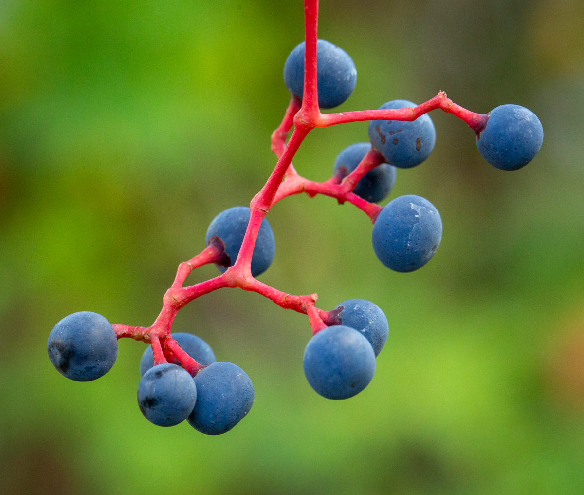 virginia creeper berries