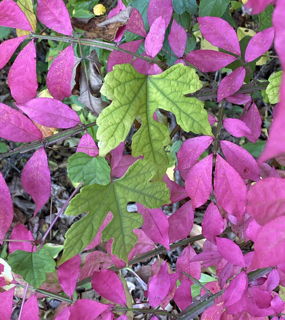 magenta and green leaves