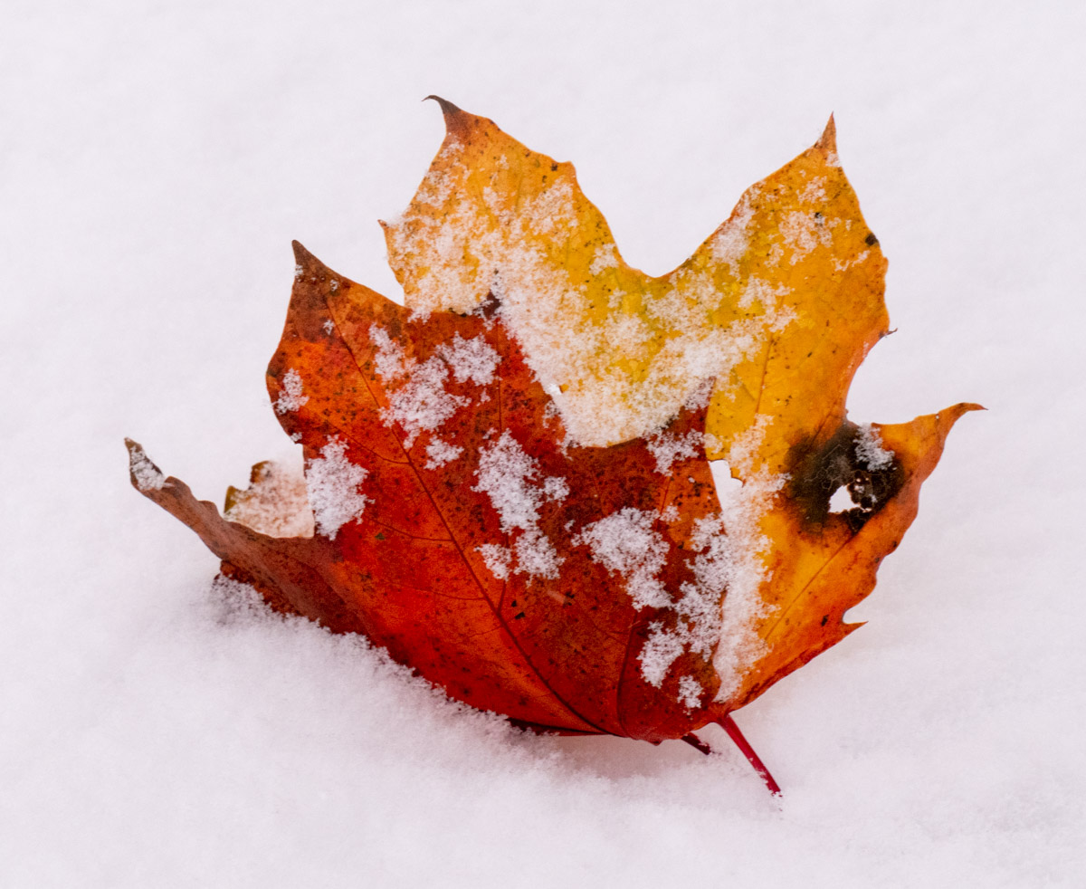 Fall Leaf and Snow